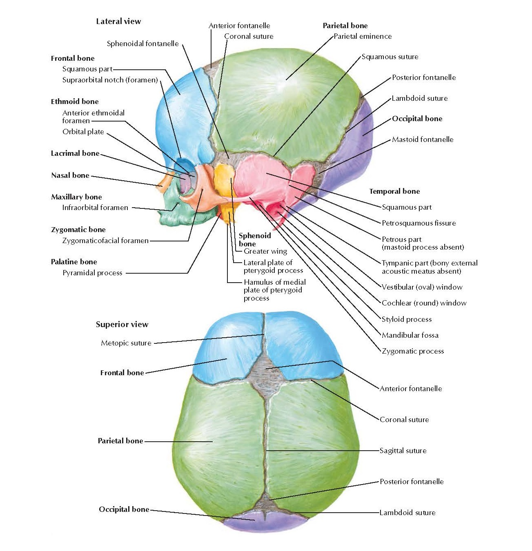 Skull of Newborn Anatomy