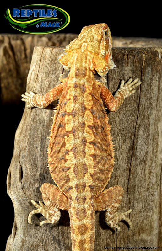 Bearded Dragon Colors And Patterns   Amazing Wallpapers