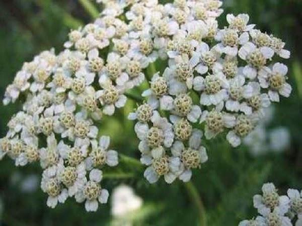 Estracto de Achilea Millefolium