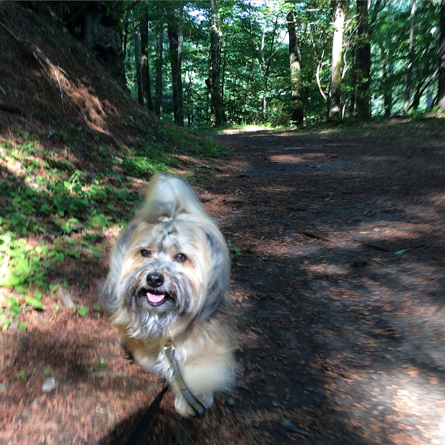 Rocco Havanese dog hiking Unicoi State Park Lake Loop Trail