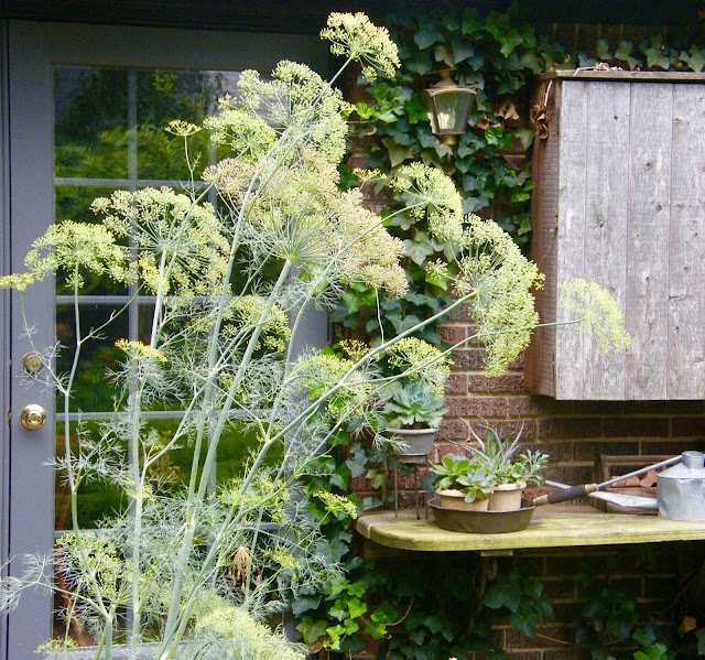 Arching stems of dill sway in front of an ivy covered wall with french doors.
