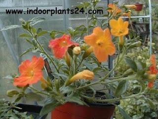 Streptosolen Jamesonii Plant care