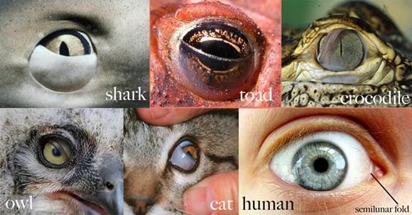 Organ Sisa (Vestigial) Yang Pernah Dijadikan Bukti Evolusi, Ternyata Salah