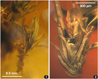 http://sciencythoughts.blogspot.co.uk/2014/07/mosses-from-late-eocene-rovno-amber.html