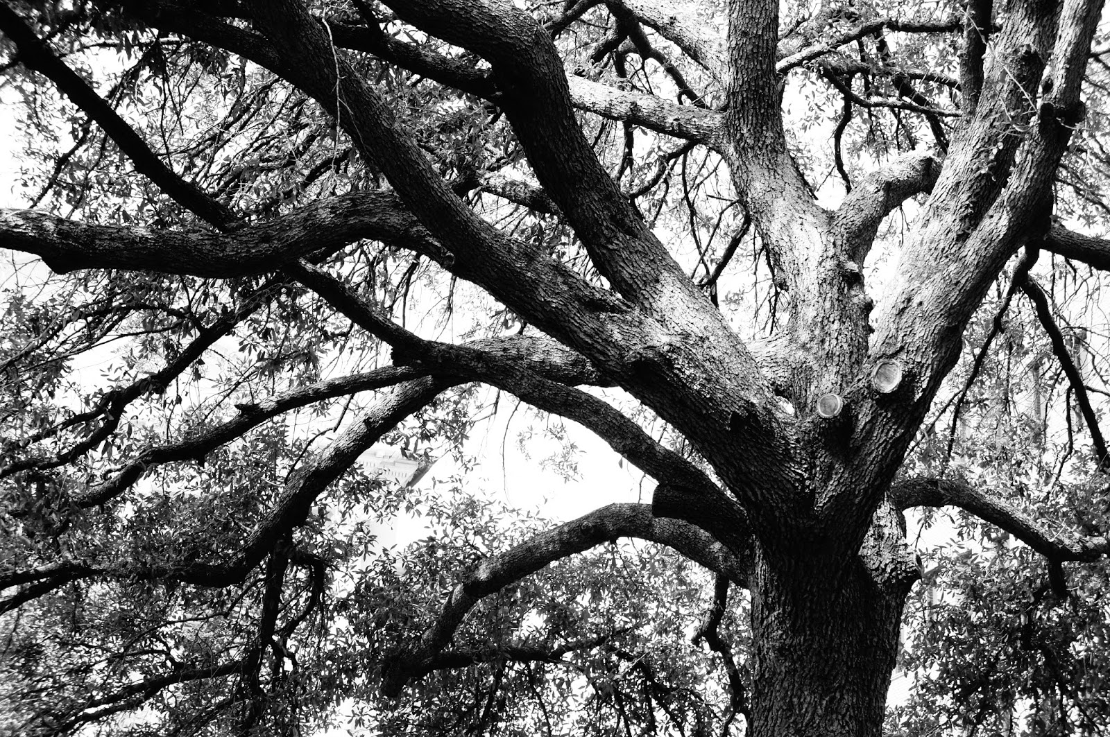 Black And Whit Tree Public Domain Picture