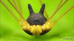 Mengenal Hewan Unik Laba-laba Berkepala Mirip Kelinci