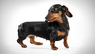 Miniature-Dachshund-Smooth