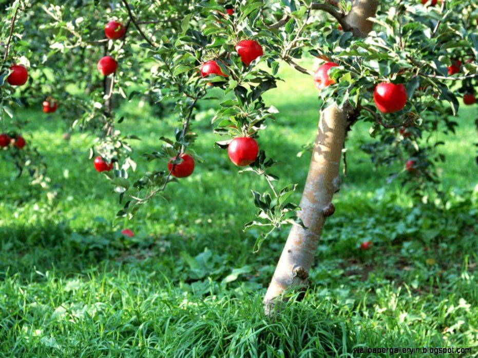 green apple tree fruits wallpaper wallpaper gallery