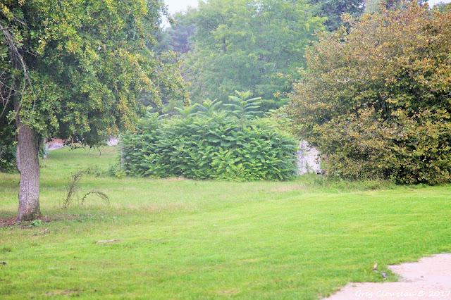 invasives ailantes  puits de Franchard ermitage Fontainebleau