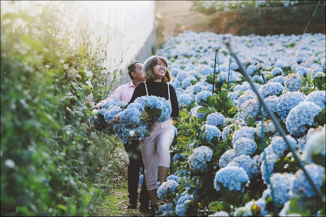 Discovering hydrangeas field in Da Lat 1