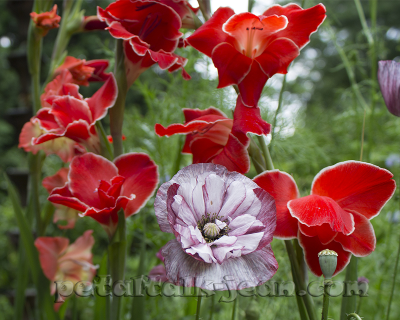 Petal talk old fashioned gladiolus belong in modern gardens gladiolus atom cavorts gracefully with poppies mightylinksfo