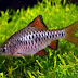 CHECKER BARB (Puntius Oligolepis)