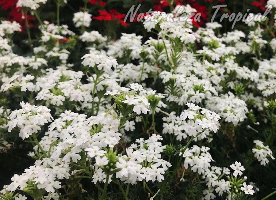 Floración de la variedad `Alba INTA´ del género Glandularia
