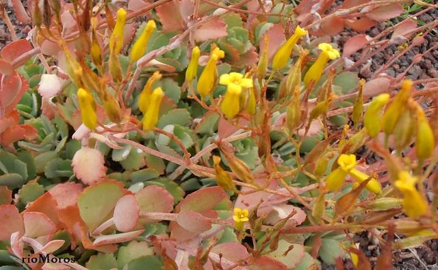 Calanchoe de flor larga Kalanchoe longiflora