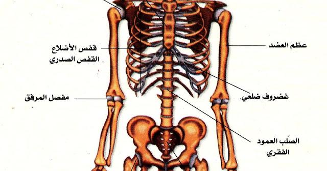معلومات عن الهيكل العظمي وأنواع العظام