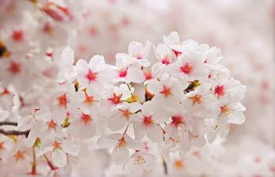 Flores de cerejeira da variedade Somei-Yoshino