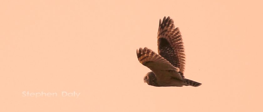 Short-eared Owl at Dusk