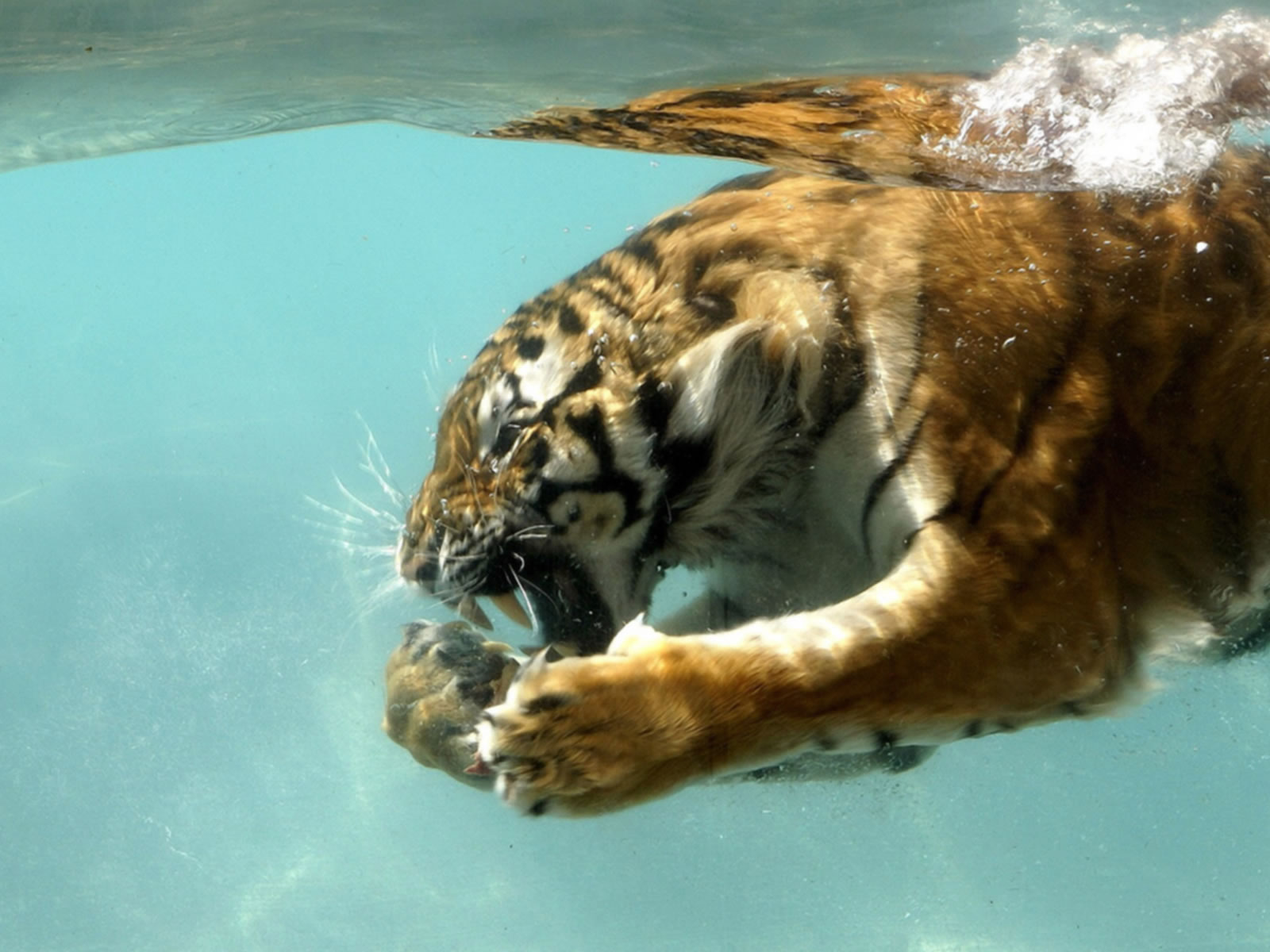Tiger Wallpaper Pack 4 (1600x1200)