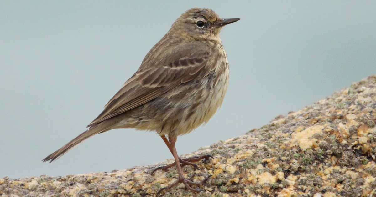 SCILLYSPIDER: 7th Scandinavian Rock Pipit for Scilly