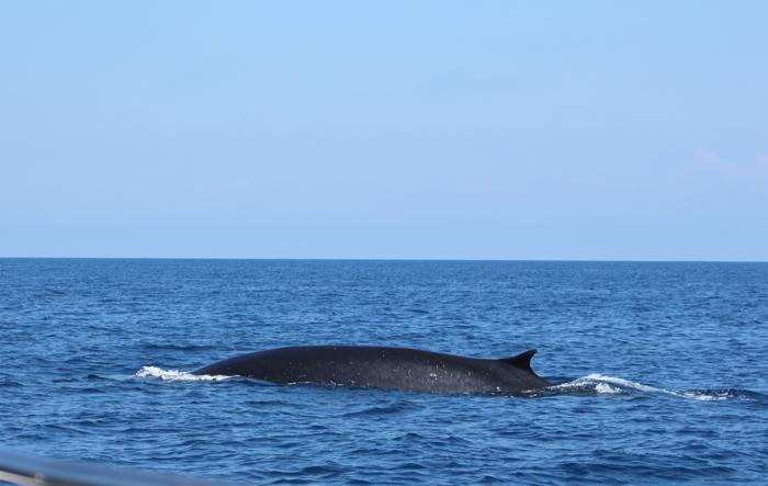 Finnwal im Pelagos Schutzgebiet