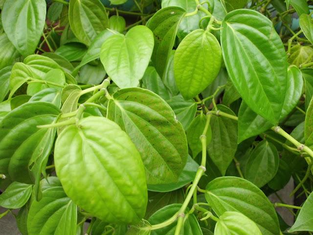 Obat Tradisional Herbal Alami Untuk Mengatasi Keputihan yang Gatal dan Berair