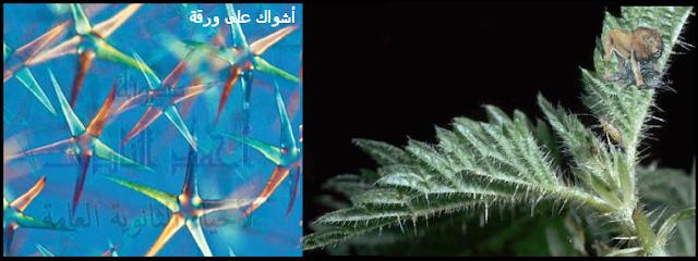 آليات المناعة التركيبية ( خط الدفاع الأول ) - تراكيب موجودة سلفاً فى النبات - الأدمة الخارجية - الأشواك على الأوراق