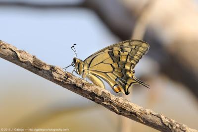 Mariposa macaón (Papilio machaon)