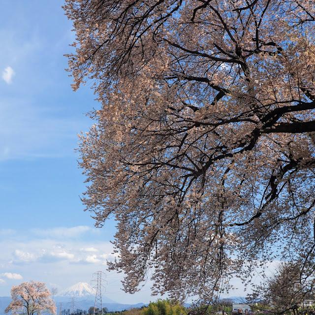 わに塚のサクラ 韮崎 エドヒガン 富士山