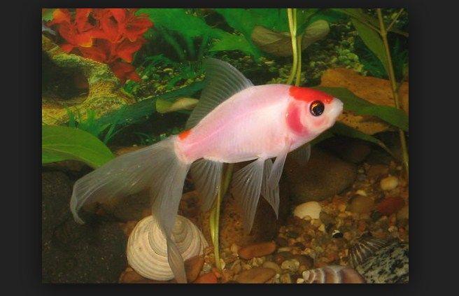 Cara Memelihara Dan Merawat Ikan Komet