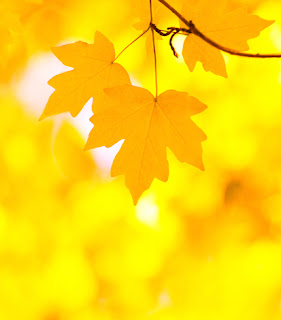 Photo of a yellow autumn leaf background