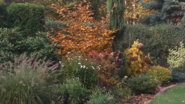 rozplenica Hamelm, oczar jesienią