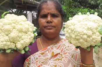 Fresh Cauliflower Recipes Cooking in My Village | Prepared by Mummy | VILLAGE FOOD