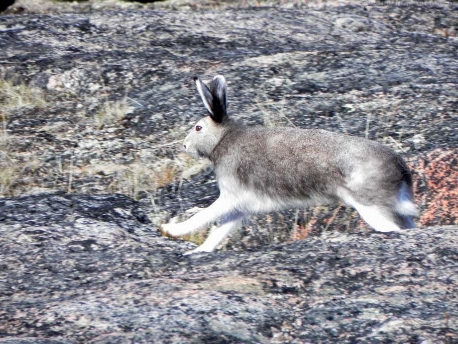 Beautiful Desktop HD Wallpapers 1080p: Arctic hare HD ...