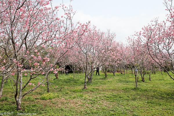 台中新社月湖莊園賞櫻秘境,上百棵富士櫻盛開,免費參觀拍照