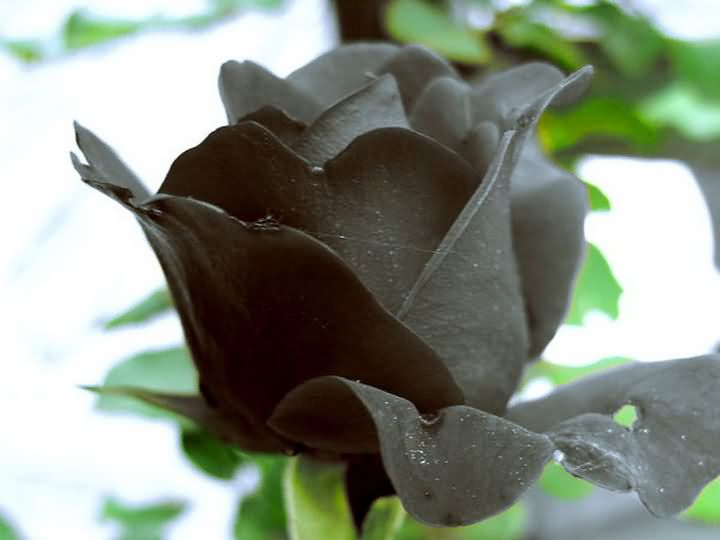 Rose Flowers Pictures: Black Rose Picture # 2