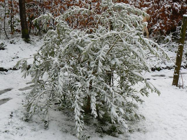 Olivo piegato dalla neve