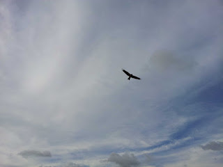 Black Kite over Buriganga