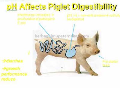 Mengobati Diare Pada Anak Babi
