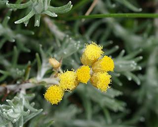 Flor amarilla de Manzanilla bastarda (Helichrysum stoechas)