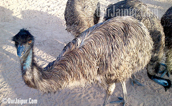 EMU Farm Jaipur