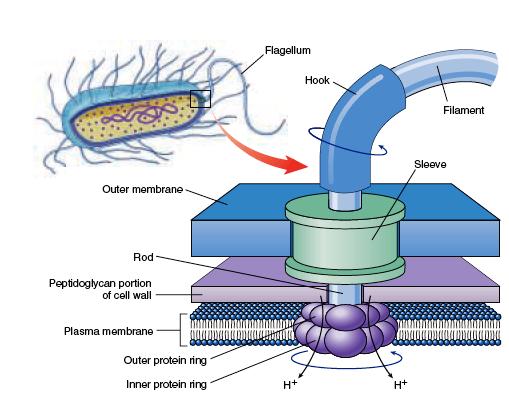 Difference between Prokaryotic flagella and Eukaryotic