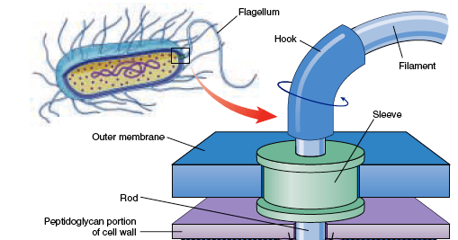 Prokaryotic Cell Diagram 99 00 Civic Radio Wiring Difference Between Flagella And Eukaryotic ~ Biology Exams 4 U