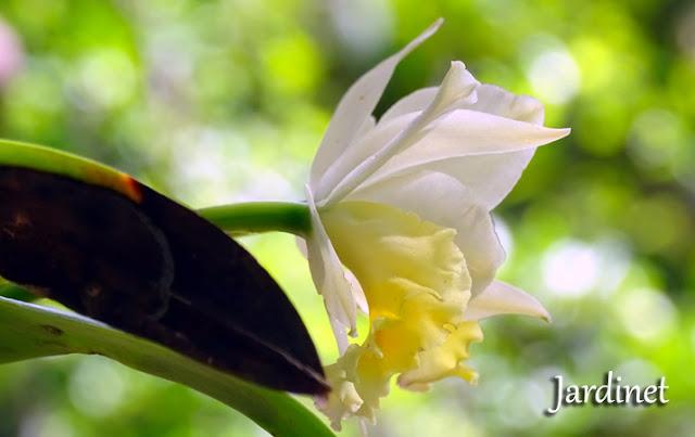 Quanto tempo uma muda de orquídea cattleya leva para florir?