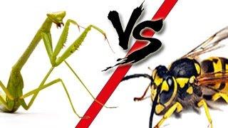 Hornet Vs Praying Mantis Canlı Tv Burad...