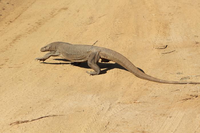 Große Echse überquert im Udawalawe Nationalpark die Straße