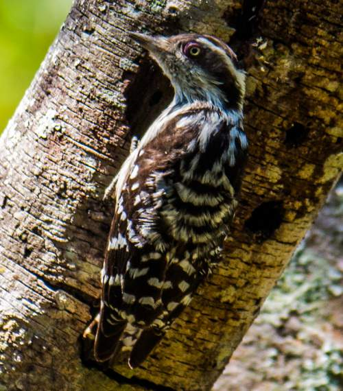 Birds of India - Photo of Brown-capped pygmy woodpecker - Picoides nanus