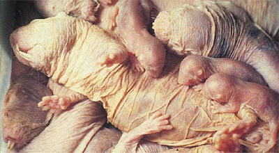 Young family of naked mole rats