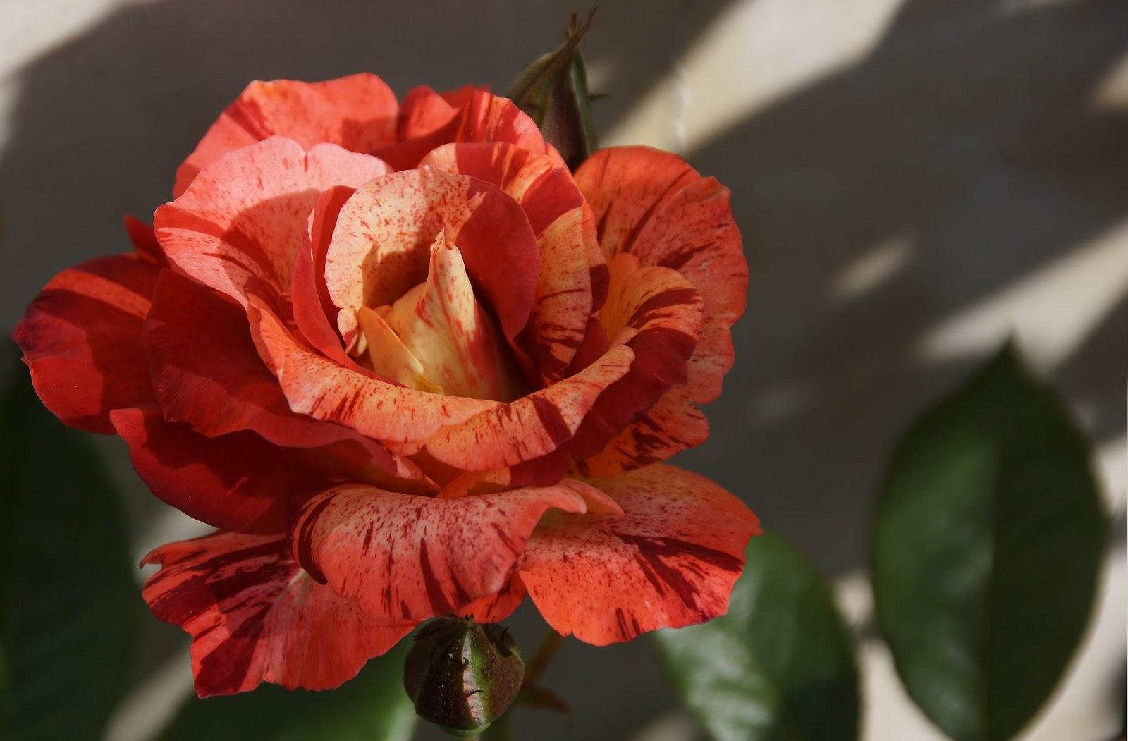 Rose: Rose 'Tropical Lightning