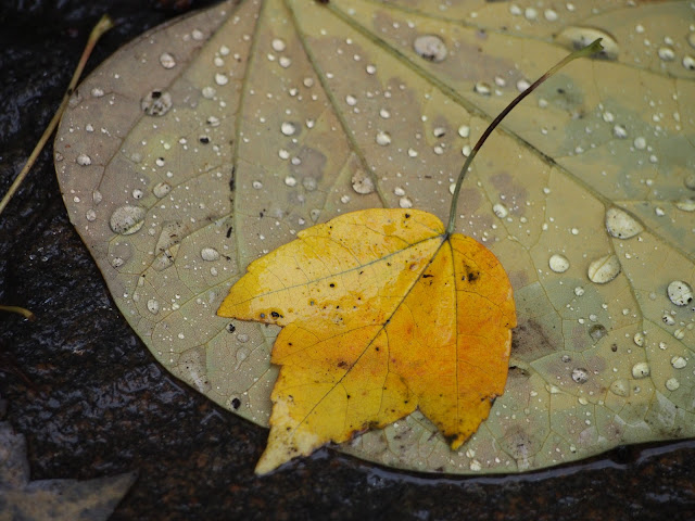 Bedazzled #fall #fallincentralpark #leaves #foliage #fallenleaves #rainyday #nyc 2014