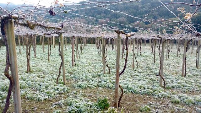 Geadas estabilizam a brotação das parreiras de uva